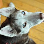 Could You Give a Home to a Husky?