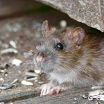 5 Signs You Have a Rodent Infestation