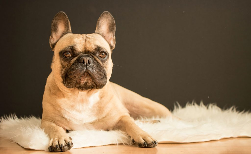 3 Ways To Bring Home A French Bulldog On A Budget