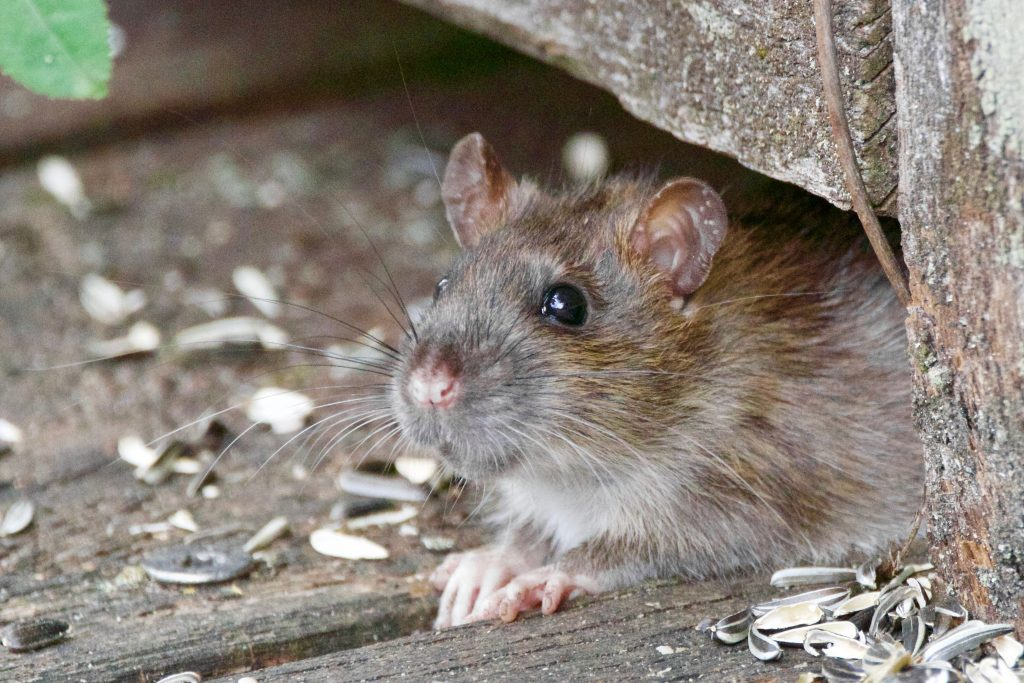 Do You Have Rodents in Your Home?